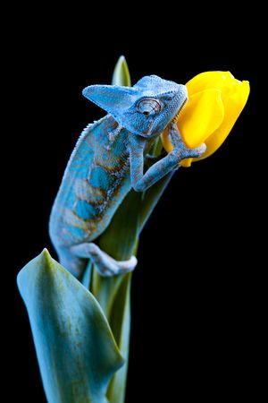 chameleon lizard: Big Chameleon