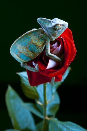 Big Chameleon