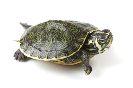 Turtle walking in front of a white background