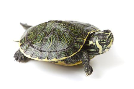 schildkr�te: Turtle walking vor der einen wei�en Hintergrund Lizenzfreie Bilder