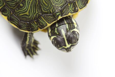 carapace: Turtle - isolated on white Stock Photo