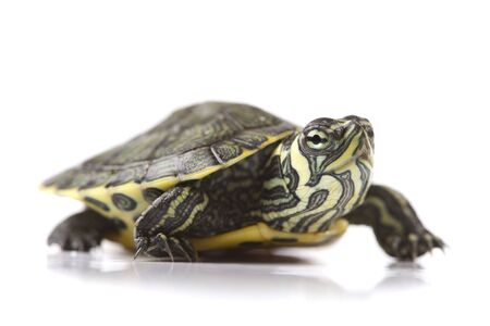 Turtle - isolated on white Stock Photo