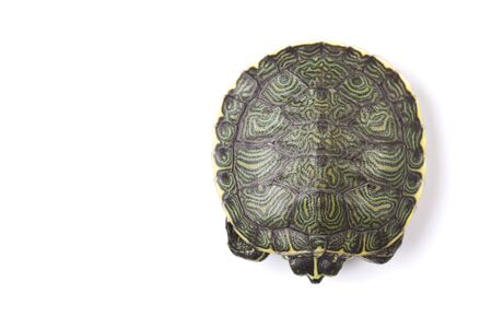 carapace: Turtle and carapace