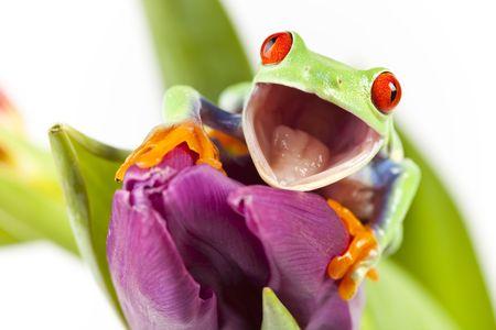 Red eyed rana sentada en flor  Foto de archivo - 6765510