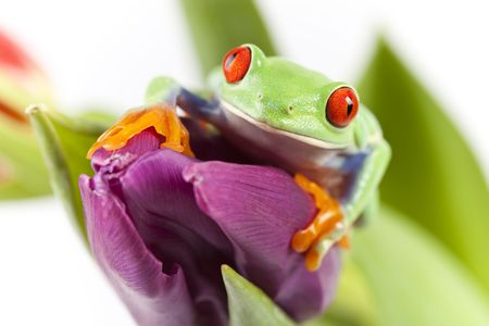 Red eyed tree frog sitting on flower photo