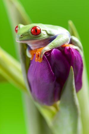 Red eyed tree frog sitting on tulip Stock Photo - 6765538