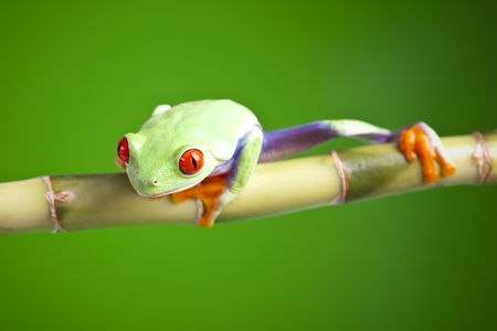 Red eyed tree frog sitting on bamboo Stock Photo - 6765536