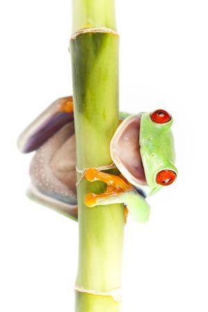 Red eyed rana sentada en bambú  Foto de archivo - 6765482