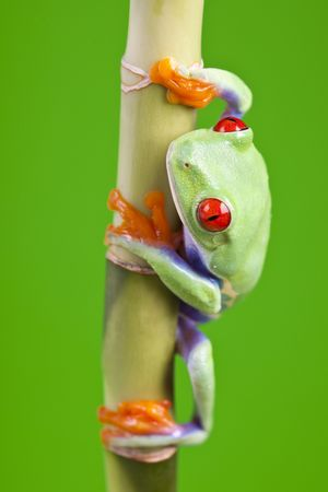 Macro of red eyed tree frog sitting on bamboo photo