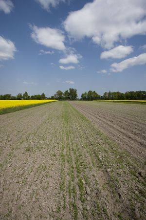 oilseed: Yellow oilseed rape