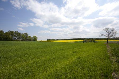 oilseed: Yellow oilseed rape Stock Photo