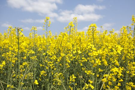 oilseed: Oilseed rape Stock Photo