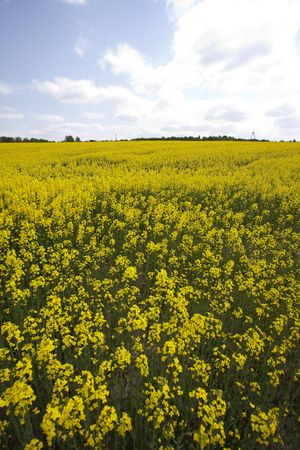 oilseed: Yellow oilseed rape Stock Photo