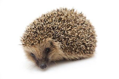 Pretty little hedgehog photo