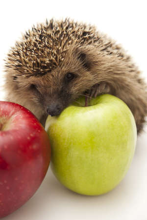 Little hedgehog and apples photo