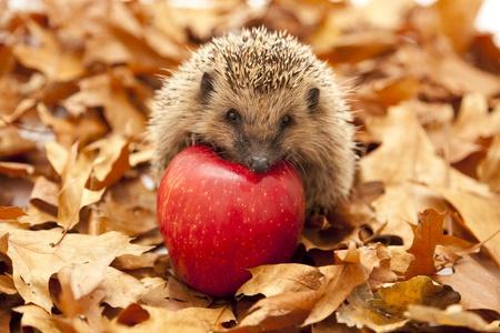 Hedgehog sitting on leaves photo