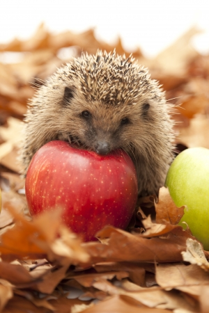 Hedgehog sitting on leaves
