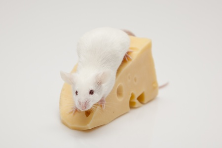 White mouse and cheese photo
