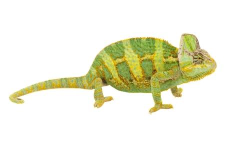 chameleon lizard: Beautiful big chameleon sitting on a white background