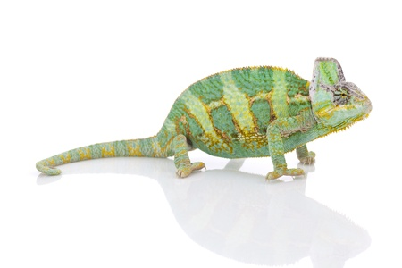 Beautiful big chameleon sitting on a white background