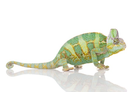 chameleon lizard: Beautiful big chameleon sitting on a white background