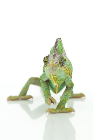 Close-up of big chameleon sitting on a white background photo
