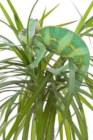 Beautiful big chameleon sitting on a palm tree photo