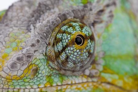 chameleon lizard: Chameleon Stock Photo