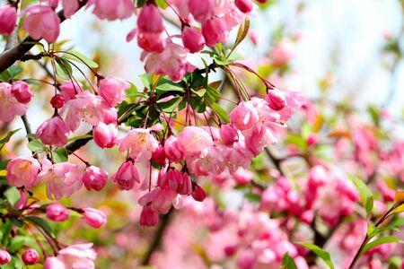 peach blossom: flor de durazno Foto de archivo