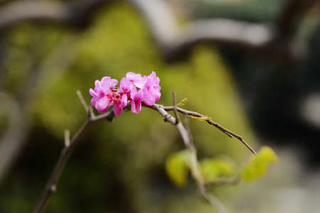 chinensis: Cercis chinensis Stock Photo