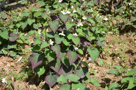 hosta: Hosta plantaginea Aschers