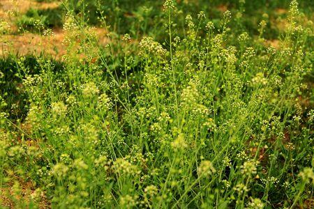 canola: canola flowers