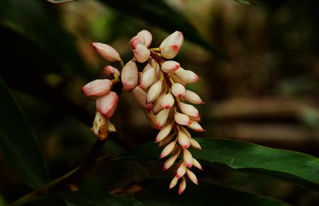 coronarium: Hedychium Coronarium Stock Photo