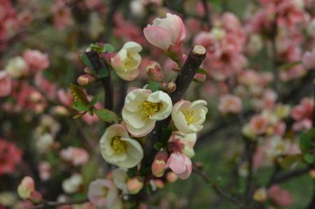 begonia: Begonia flower