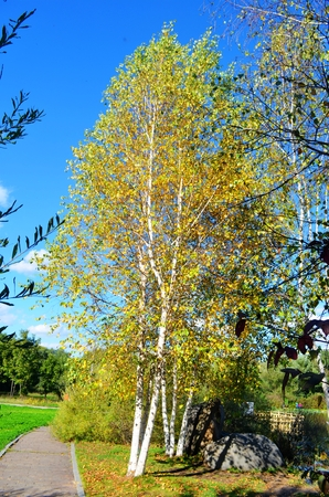 birch tree: Birch tree Stock Photo