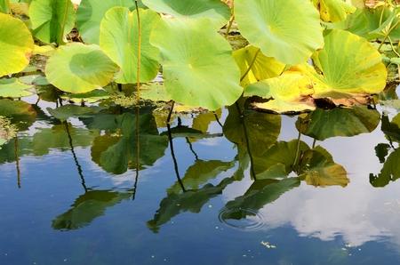 lotus leaf: Lotus Leaf plants