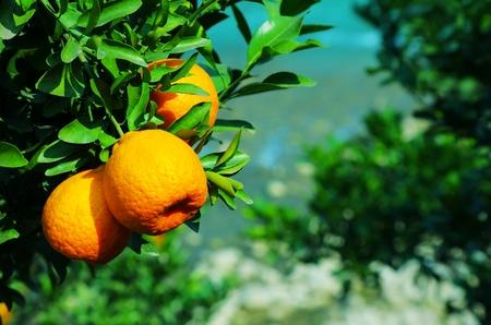 bitter orange: mandarin Orange