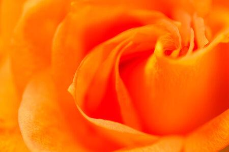 convolute: Beautiful orange rose - a convolute petal Stock Photo