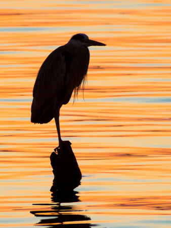 Grey heron  Ardea cinerea  silhouette - sunset lake photo