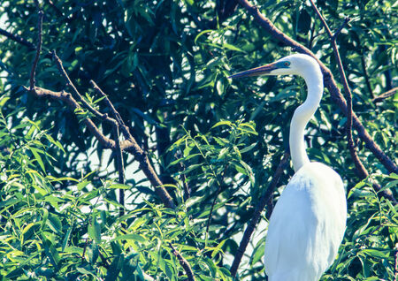Green beak Great Egret  Ardea alba  perched on the tree photo