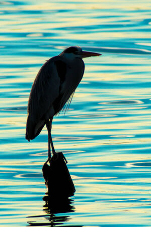 Silhouette of heron standing on the lake at twilight  photo