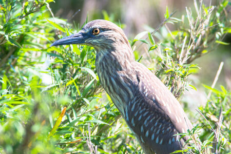Immature black-crowned night heron, Nycticorax nycticorax, in green, Japan photo