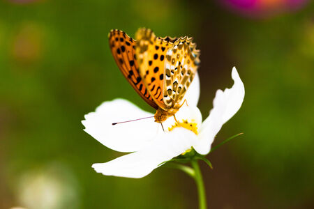 daphne: Brenthis daphne, Marbled fritillary butterfly on flower, Japan