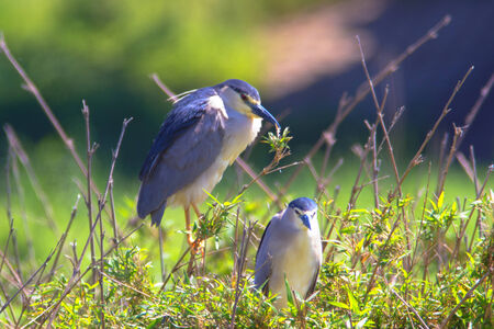 Two black-crowned night heron, Nycticorax nycticorax on branches photo