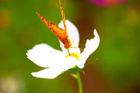 dafne: Brenthis daphne, Marbled Fritillary farfalla sul fiore bianco, Giappone Archivio Fotografico