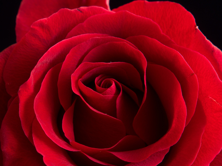 Close-up van mooie fluwelen rode roos
