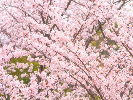 Yoshino cherry tree in full bloom photo