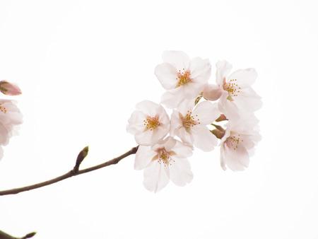 Yoshino cherry tree in full bloom