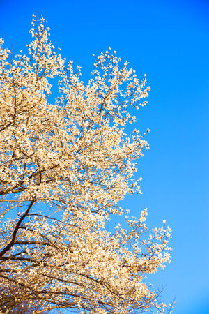 Blooming Magnolia kobus flowers in blue sky photo