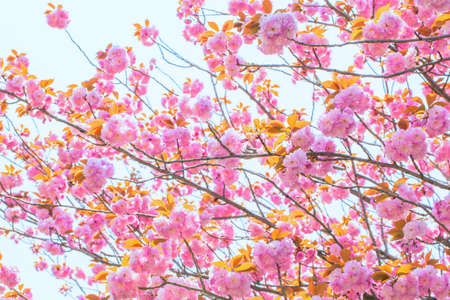 Blooming double cherry blossom and blue sky photo